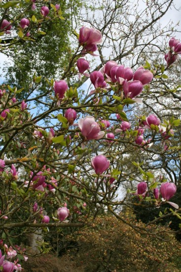 Magnolia 'Lennei'