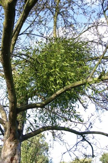 Mistletoe in May